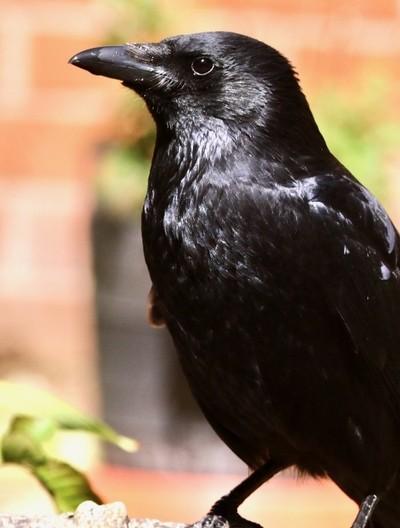 Cheeky Crow