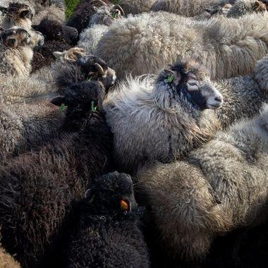 herd of sheep at the sheep farm