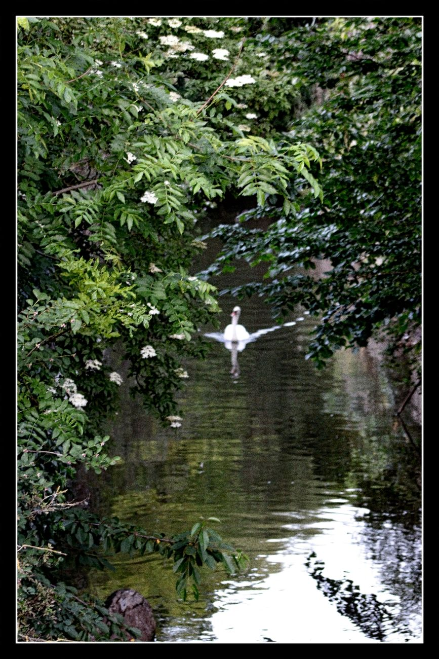 There are not only beautiful flowers and trees in Tienen, but there are also beautiful ducks and swans on the water Theo-Herbots-Photography https://groetenuittienen.blog/