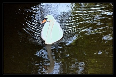 There are not only beautiful flowers and trees in Tienen, but there are also beautiful ducks and swans on the water Theo-Herbots-Photography https:- by Theo-Herbots-Fotograaf