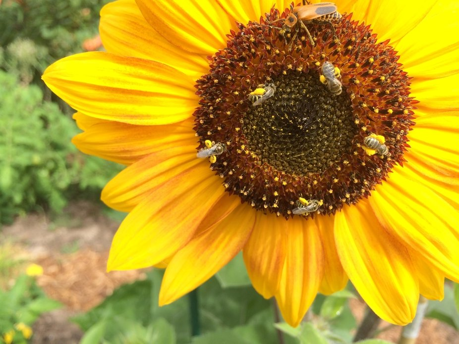 This is one of my small sunflowers. It would be covered by tiny bees that were working away gathering pollen. A beetle was also visiting.