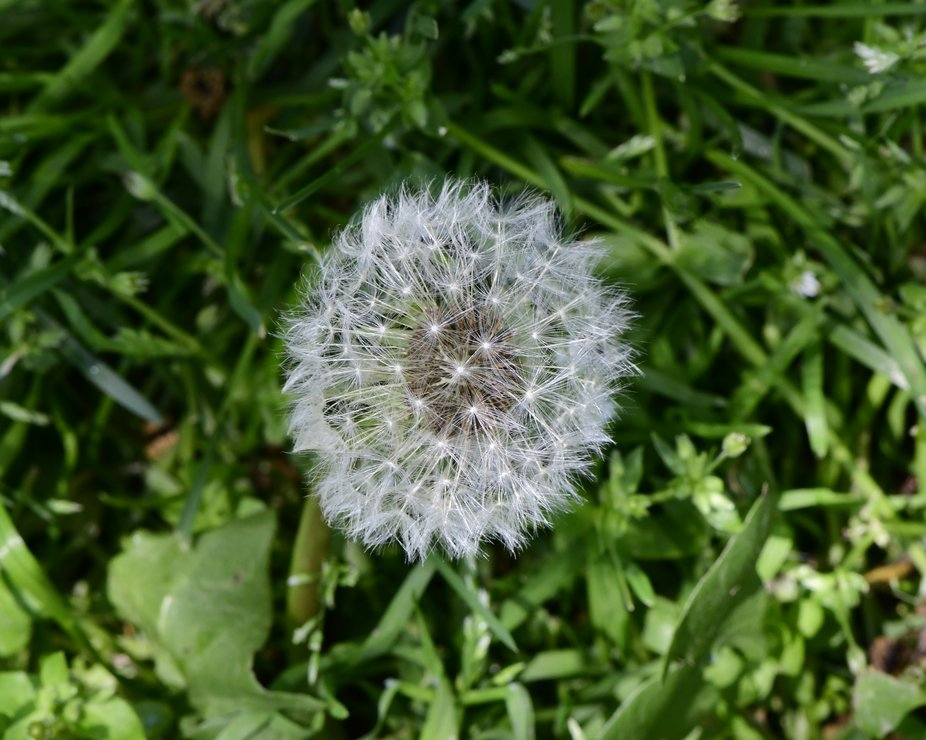 Dandelion seeds. As a child I joined my friends wandering through our neighbor's yards i...