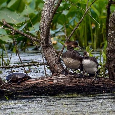 A pair of Common Mergansers conversing causing the local turtle to pull its his head.