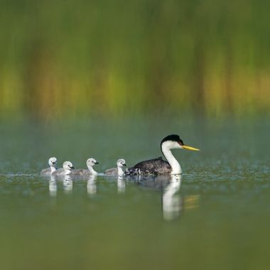 Western Grebe family with 4 chicks DSC06808