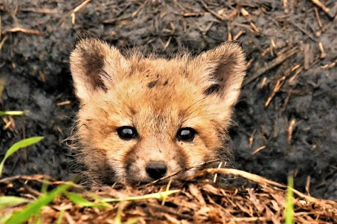 Red fox pup peeking out of it's den at me!