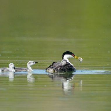 Western Grebe with chicks and fish DSC07588