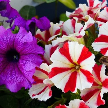 Colour Petunias