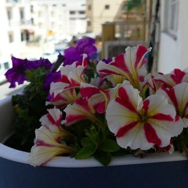 Street Petunias