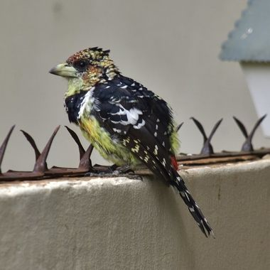 Crested Barbet that visited our house during lock-down period.