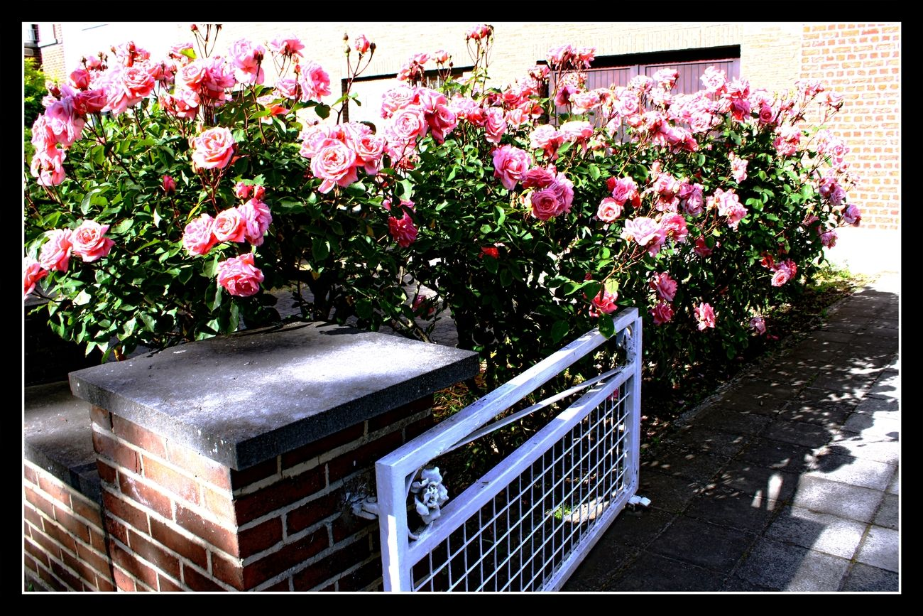 I am always fascinated by the beauty of roses. I couldn't resist taking a picture of these beautiful roses Sincerely Theo-Herbots-Photography https://groetenuittienen.blog/
