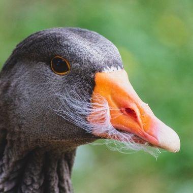 greylag goose-9024