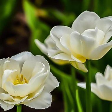 Beautiful white tulips looking lke old rose, so amazing