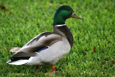 Duck Bro