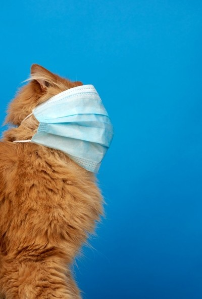 adult red fluffy cat sitting in a disposable medical mask
