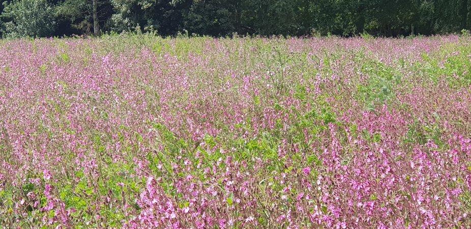 Field of purple