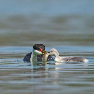 Western Grebe feeding chick DSC08225