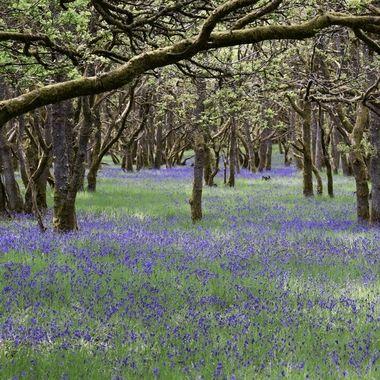 Beautiful Bluebell wood