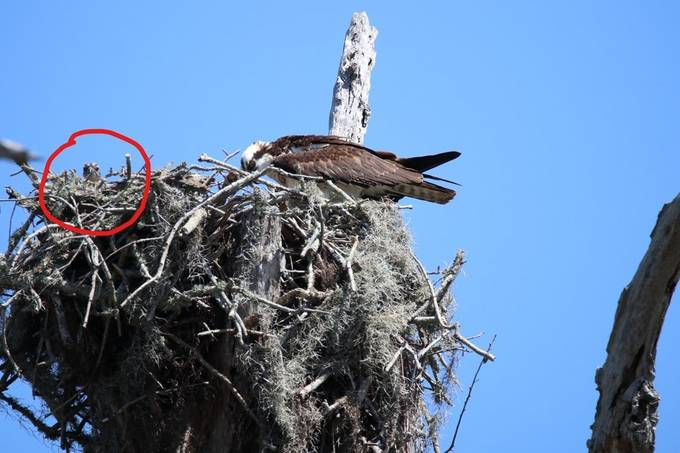 Look at the size of this nest. I was lucky that the newborn was able to get its head up over the edge.