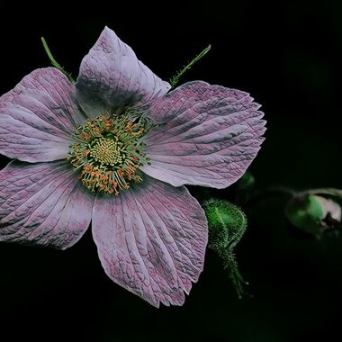 Thimbleberry manipulation