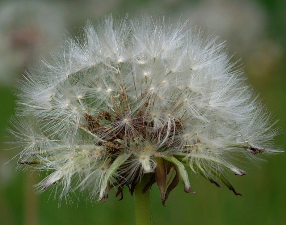 dandeliondetail