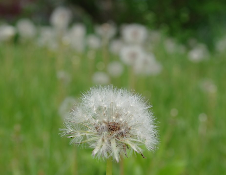 dandelionsingle