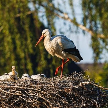 Currently I am visiting a stork nest taking some shots of the adult birds and the juveniles. Every other day you can see the young birds growing and getting stronger.