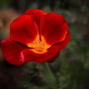 California Poppy in my Garden
