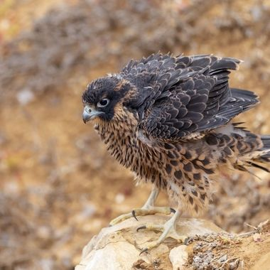 This peregrine falcon chick came out of the nest only the day before.  It still can not fly too far from the nest.