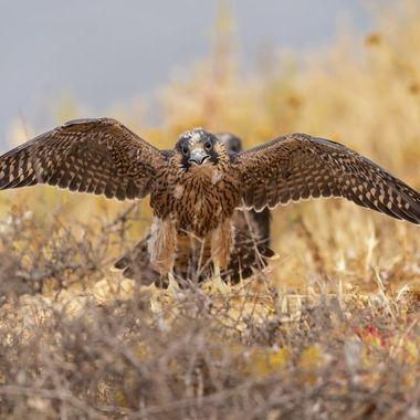 Peregrine Falcon Fledgling DSC02612