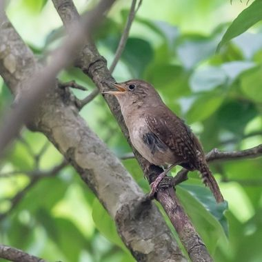 This House Wren is singing as she hunts to feed her chicks.
