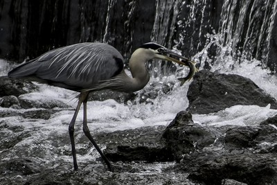 The Great Blue Heron with fish
