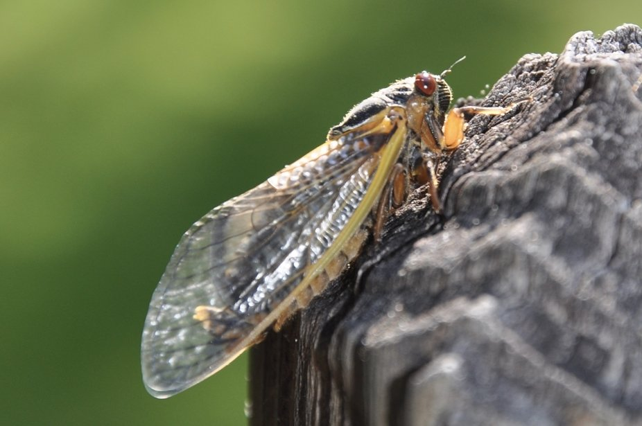 The cicada continues to develop and change moment by moment. Overnight, it has grown these beauti...