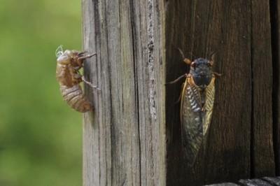 Upgrade Cicada