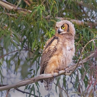Great Horned Owl DSC02185