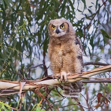 Great Horned Owl Juvenile DSC02369