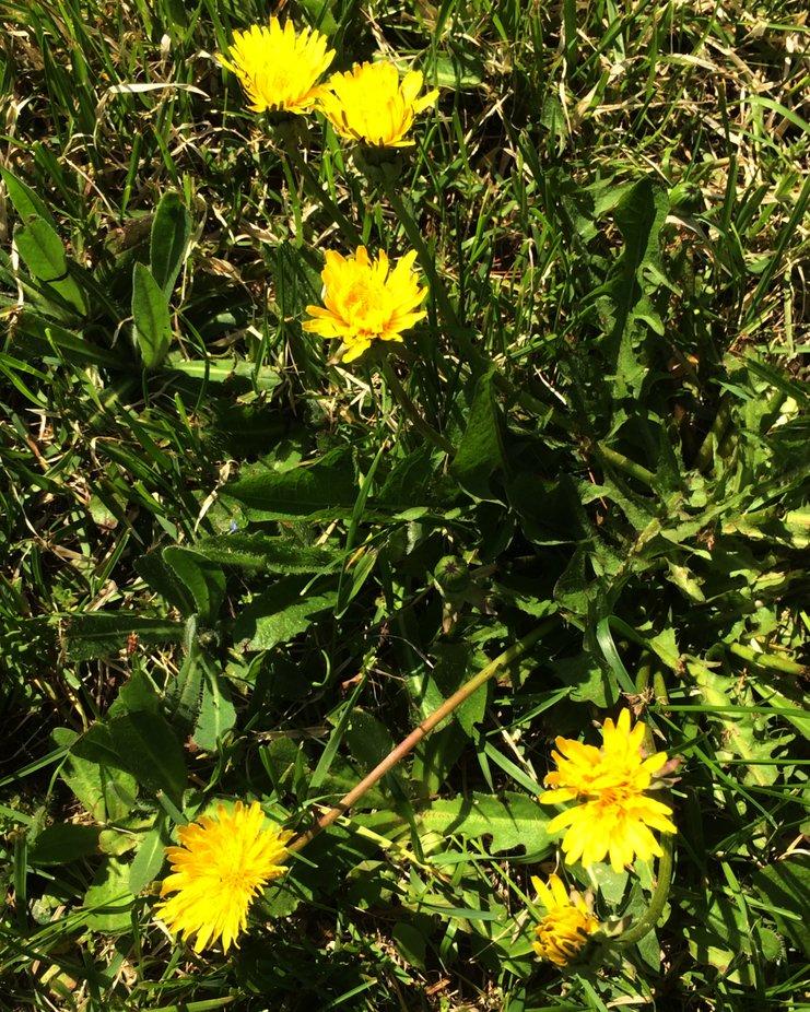 I love dandelion. Bright sunny flowers.