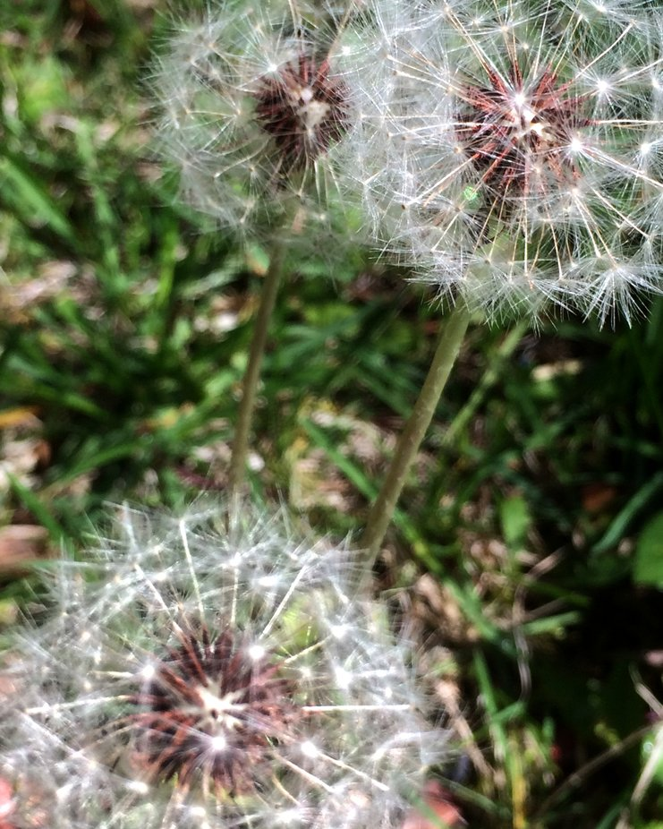 Nothing more delicate than the magic of a dandelion puff.
