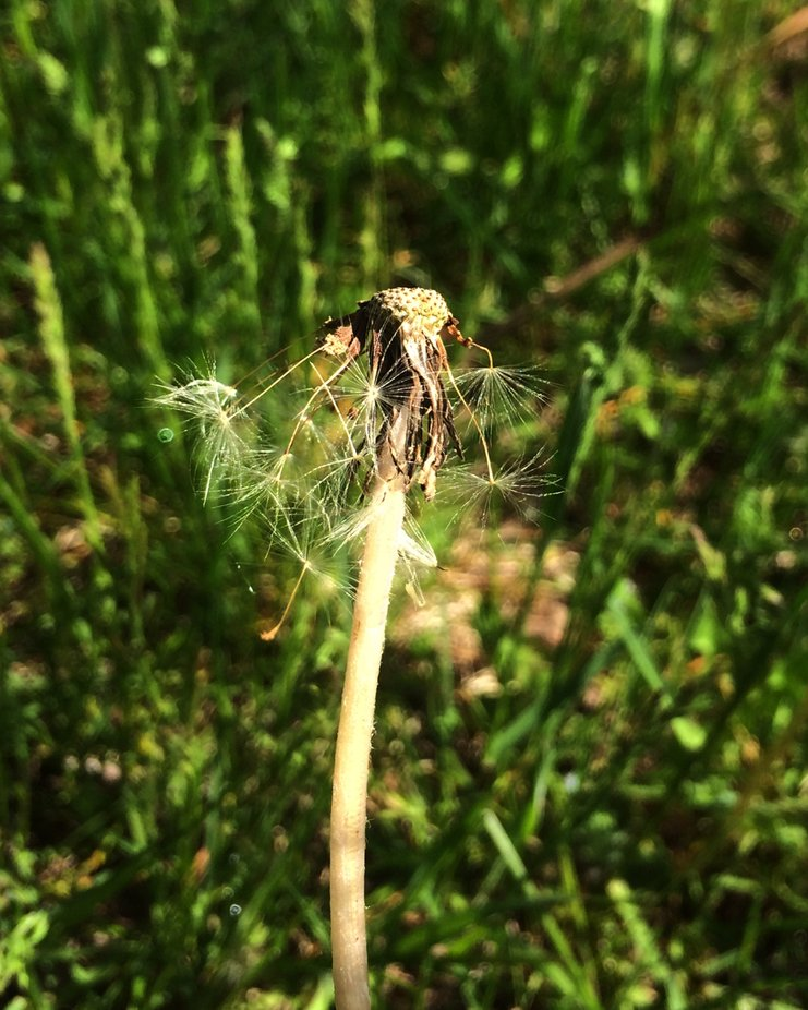 Dandelions don't last long. A gentle breeze or a child's exhale will send these seeds on their journey.