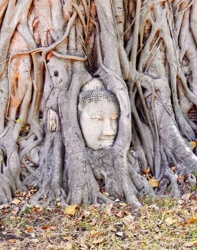 Buddha Tree Thailand