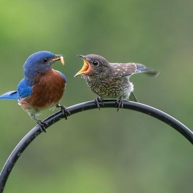 Father and Juvenile Bluebird