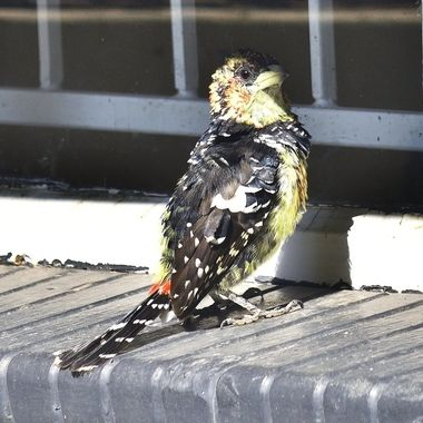 Crested Barbet at garage window