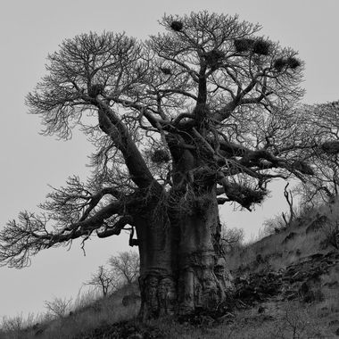 Baobab tree near northern border of Kruger National Park.