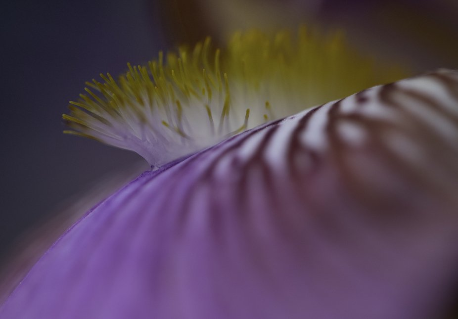 Iris 1.JPG