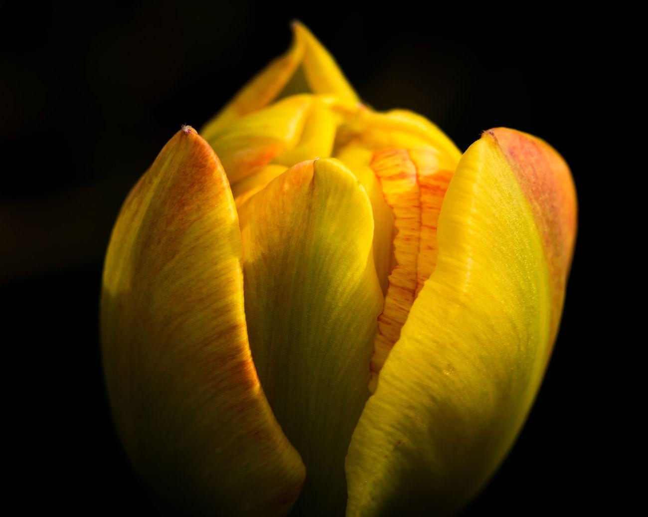 Tulip pending