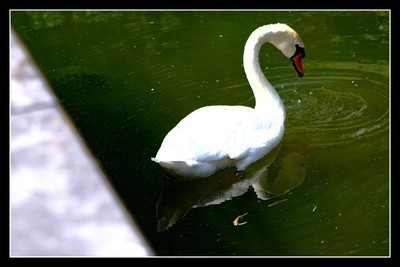 This Gracious White Swan in Tienen attracts the attention of many people. I can't resist taking pictures of it regularly. Sincerely Theo-Herbo by Theo-Herbots-Fotograaf