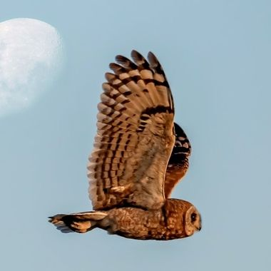 Marsh Owl Moon Fly by. Lockdown South Africa