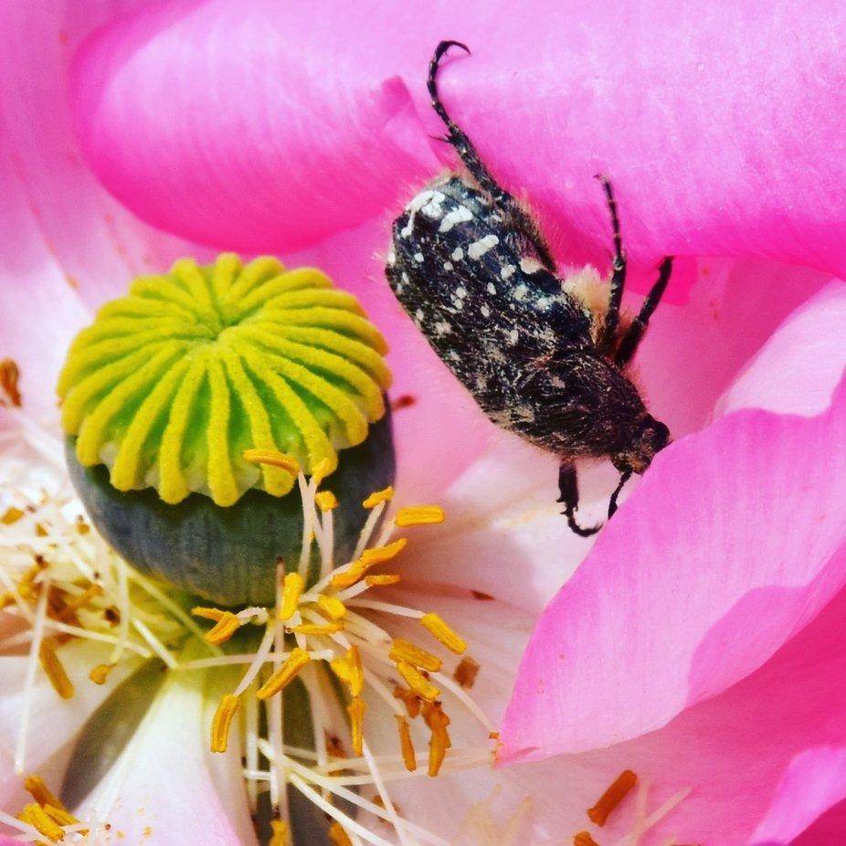 Trauer-Rosenkäfer in einer Mohnblume