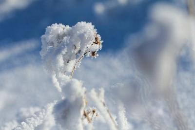 Plant frostbite