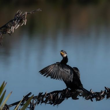 Little Black Shag (cormorant)