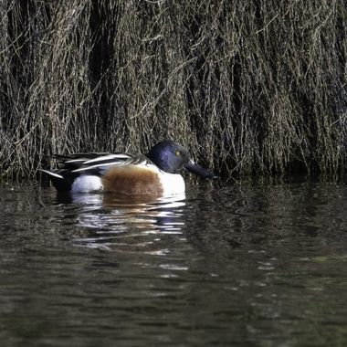 Northern Shoveler In NZ